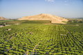 Overlooking view of orange trees at  Lemon Cove, USA Royalty Free Stock Photo