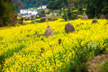 Overrall view of rural landscape in wuyuan county jiangxi province china with rape flowers all around taken Stock Photo