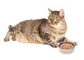 Overweight Cat With Bowl of Food Royalty Free Stock Photo
