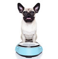Overweight pug dog shocked and surprised about his weight on a scale Royalty Free Stock Photography
