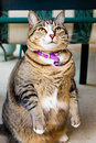 Overweight tabby cat Royalty Free Stock Photo