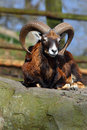 Ovis aries orientalis european mouflon on a rock Stock Photos