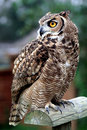 Owl standing on a wooden perch Royalty Free Stock Photo