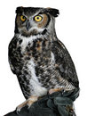 Owl with big eyes Royalty Free Stock Images