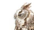 Owl blinking on white background studio portrait of a wild Stock Photo