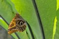 Owl butterfly. Royalty Free Stock Images