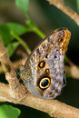Owl butterfly Stock Photo
