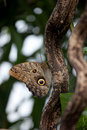 Owl butterfly (Caligo) Royalty Free Stock Photos