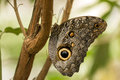Owl butterfly caligo memnon portrait of a large perching on a twig in tropical garden mindo ecuador Royalty Free Stock Photography