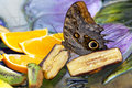 Owl Butterfly Feeding Royalty Free Stock Photo
