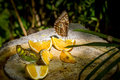 Owl butterfly feeding on fruits Royalty Free Stock Photo