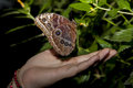 Owl Butterfly and human hand Royalty Free Stock Photo