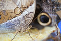Owl butterfly insect leaf Royalty Free Stock Photo