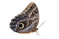 Owl butterfly isolated on white Royalty Free Stock Photo