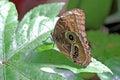 Owl butterfly on a leaf wing of an caligo memnon Stock Photos