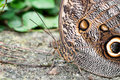 Owl butterfly macro detail of a Stock Photos