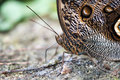 Owl butterfly macro detail of a Royalty Free Stock Image