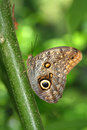 Owl butterfly standing on plant at garden Stock Image