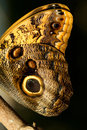 Owl butterfly wing macro Foto de Stock Royalty Free