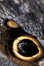 Owl Butterfly wing spots Stock Image