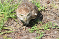 Owl catching food Royalty Free Stock Photo