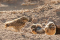 Owl chicks with adult burrowing feeding in front of burrow Stock Photos