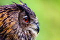 Owl Close up Head Royalty Free Stock Photo