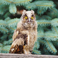 Owl closeup of an opposite pine tree background Stock Images