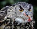 Owl eating after catching its prey the looks for a quiet place to eat Royalty Free Stock Photography