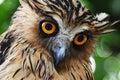 Owl eye Royalty Free Stock Photo