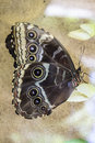 Owl eye Butterfly Royalty Free Stock Photo