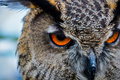 Owl Eyes - Bird of Prey Royalty Free Stock Photo