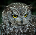 Owl face Stock Photography