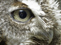 Owl of grey owl Stock Images