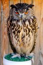 owl with gruesome and beautiful eyes Royalty Free Stock Photo