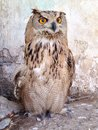 Owl a high neck standing and looking Royalty Free Stock Photo