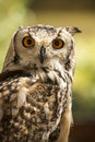Owl indian eagle bubo bengalensis portrait captive from india Stock Photos