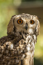Owl indian eagle bubo bengalensis portrait captive from india Royalty Free Stock Photography