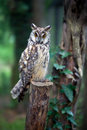 Owl long eared sitting on post asio otus Royalty Free Stock Photography