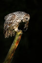 Owl with mouse in bill. Owl in dark night. Tawny Owl with catch animal.. Bird in the nature habitat. Royalty Free Stock Photo