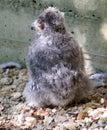 Owl nestling 1 Royalty Free Stock Photo