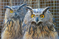 Owl the pair of with big eyes Royalty Free Stock Photo