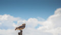 Owl on a pole Royalty Free Stock Photography