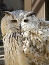 Owl portrait Royalty Free Stock Photo