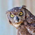 Owl portrait Royalty Free Stock Photo