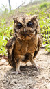 Owl portrait front in nature Royalty Free Stock Images