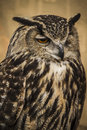 Owl portrait, golden owl, wildlife concept Stock Image