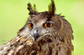 Owl portrait in natural habitat Royalty Free Stock Images