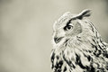 Owl profile Stock Photography