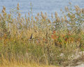 Owl revealed near the ocean orelhudo curto Fotografia de Stock Royalty Free